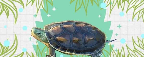 中华花龟饲养方法,饲养注意事项