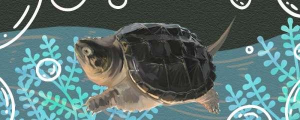 鳄龟苗怎么养,多久能长大