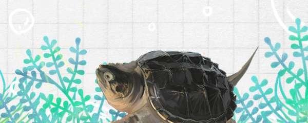 大鳄龟是深水龟吗,水深多少合适