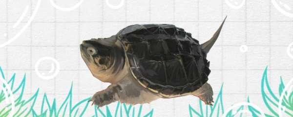 鳄龟有多大,长什么样子
