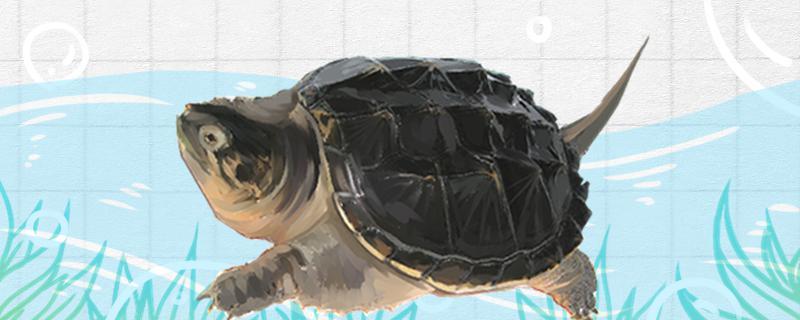 鳄龟生活在哪里,喜欢什么环境