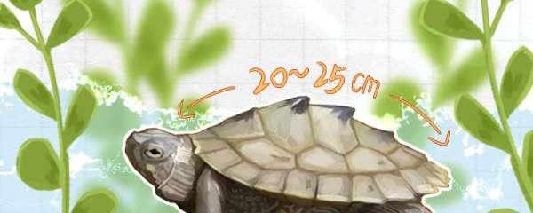 地图龟成体多大,多久繁殖