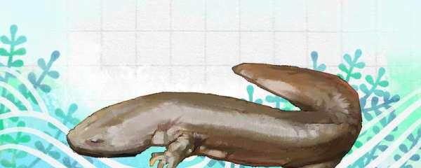 娃娃鱼是不是两栖动物,有什么特殊习性