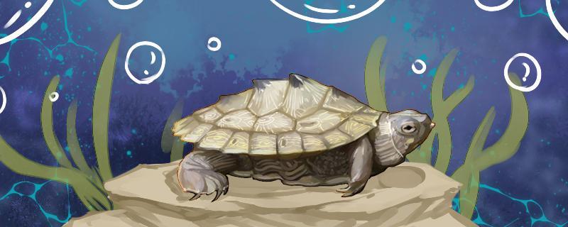 地图龟怎么看公母,怎么看年龄