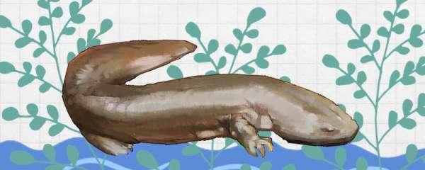 娃娃鱼为什么叫娃娃鱼,好养吗