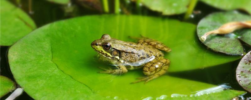 青蛙可以养殖吗,怎么养