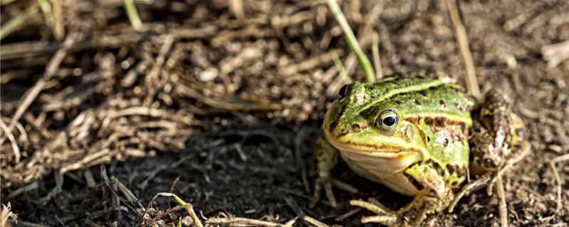 青蛙能养吗,怎么才能养好