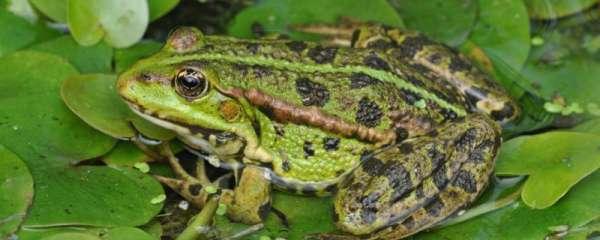 青蛙是怎么繁殖后代的,繁殖方式是什么