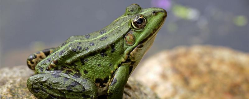 青蛙有几种,有哪些益处