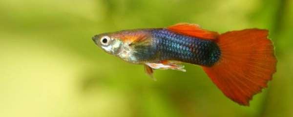 孔雀鱼会吃自己生的小鱼吗,为什么会吃自己生的小鱼