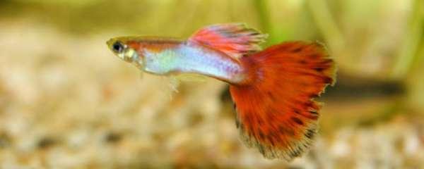 孔雀鱼能养多大,怎么养长得大