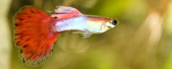 孔雀鱼水温多少度合适繁殖,如何繁殖