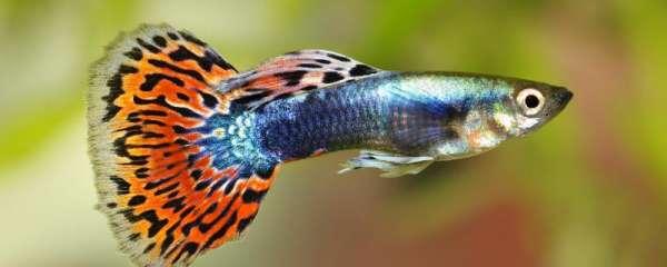 孔雀鱼一天喂几次比较好,喂什么好