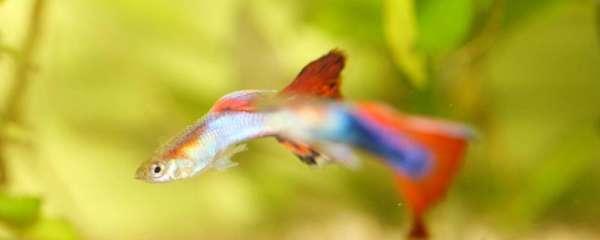 孔雀鱼一胎能生多少个宝宝,刚出生的孔雀鱼怎么养