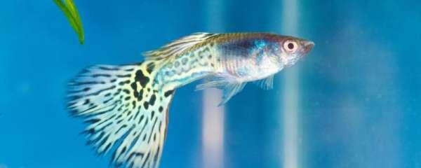 孔雀鱼为什么在鱼缸底不动,怎么办