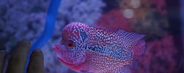 罗汉鱼能繁殖后代吗,怎么繁殖