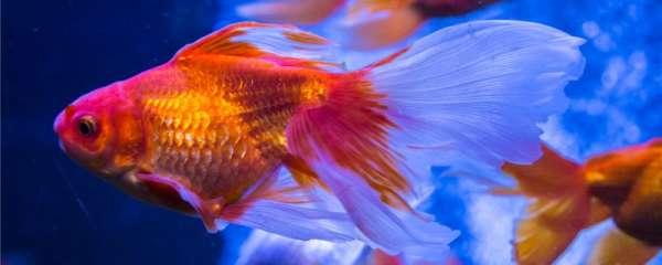 金鱼可以活几年,可以长多大