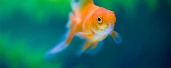 金鱼可以用矿泉水养吗?对水有什么要求
