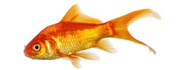 金鱼会饿死吗,会冻死吗