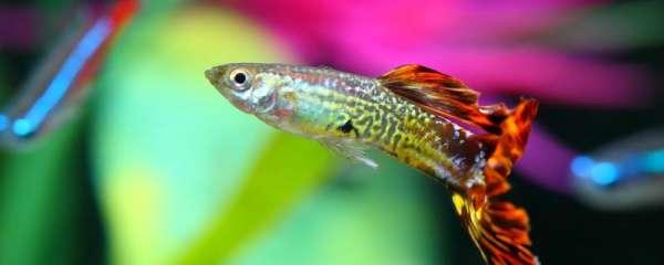孔雀鱼如何分公母,公鱼母鱼打架吗