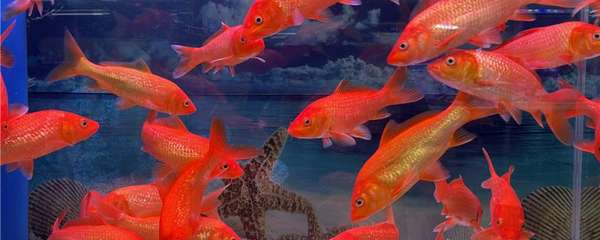 金鱼喂多少鱼食合适,还可以喂其它食物吗