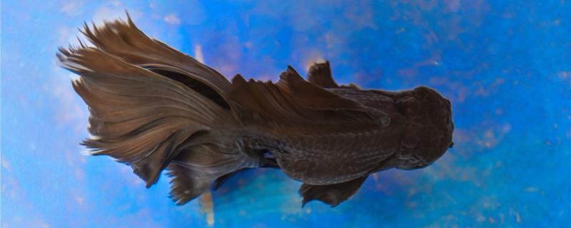 金鱼怎样养才能长久的活下来,饲养时需要注意什么