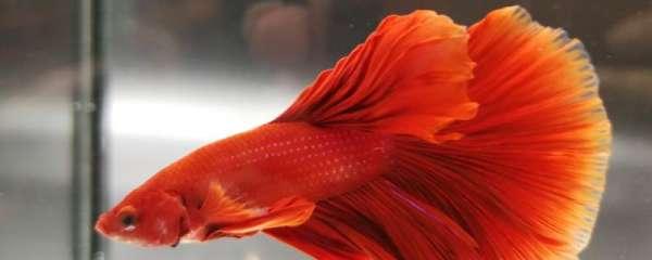 斗鱼能活多长时间,多大能繁殖
