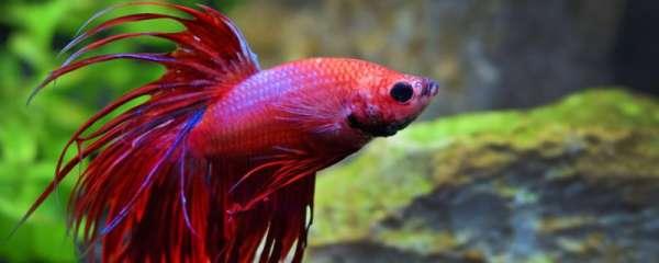 斗鱼会不会攻击其它的鱼,会不会吃自己的小鱼