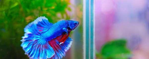 斗鱼会吃自己同类的鱼吗,喜欢吃什么食物