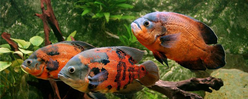 地图鱼为什么躺在水下,怎么办