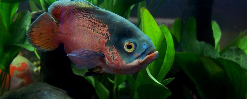 地图鱼是什么鱼,应该怎么饲养