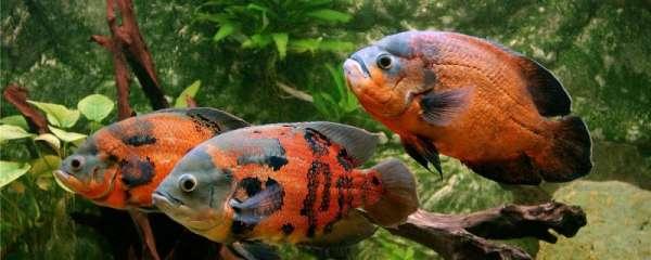 地图鱼喂多少饲料合适,喂什么食物合适