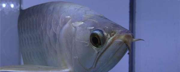 银龙鱼吃什么好,什么时间喂