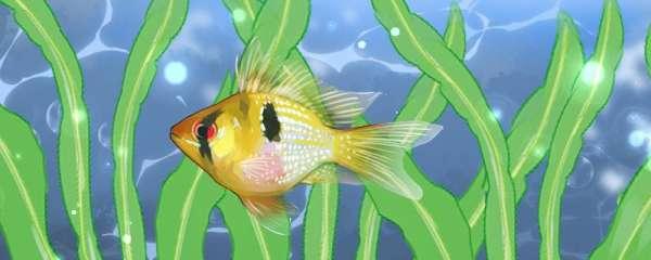 荷兰凤凰鱼的寿命多长,容易得什么病