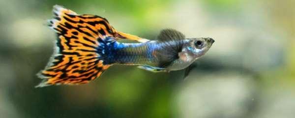 孔雀鱼是卵生吗,繁殖方式是什么