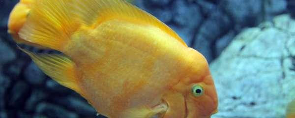 新买的鹦鹉鱼几天可以喂食,喂什么比较合适