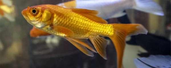 金鱼有多少种,最好看的是哪种