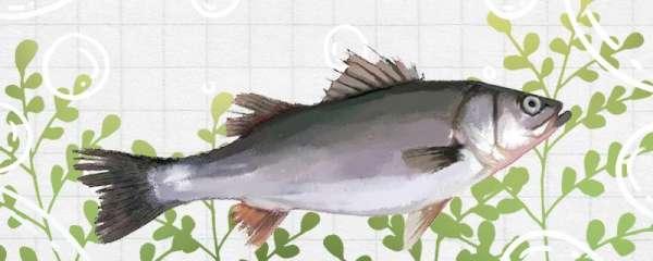 春天鲈鱼开口时间是什么时候,用什么饵料容易钓