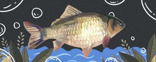 大鲫鱼爱吃什么饵料,在水的什么位置