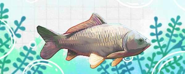黑坑钓鲤鱼用什么味型的小药,用什么味型的饵料