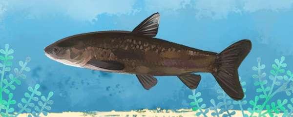 黑坑钓青鱼用多大浮漂,用多长的鱼竿