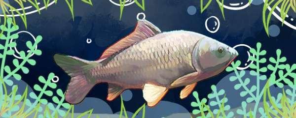 春天能钓鲤鱼吗,春天钓鲤鱼有什么技巧