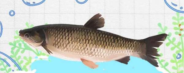 春天钓草鱼用什么味型饵料,用什么鱼竿