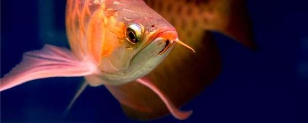 红龙鱼身上有黑斑是怎么回事,黑斑病怎么治