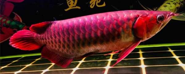 红龙鱼身上有红点是什么原因,为什么会充血