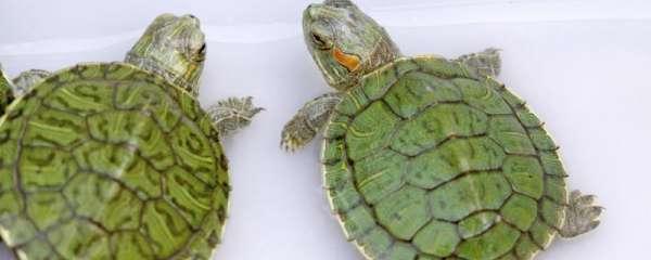 巴西龟为什么喜欢趴在另一只巴西龟背上,巴西龟是水龟还是陆龟