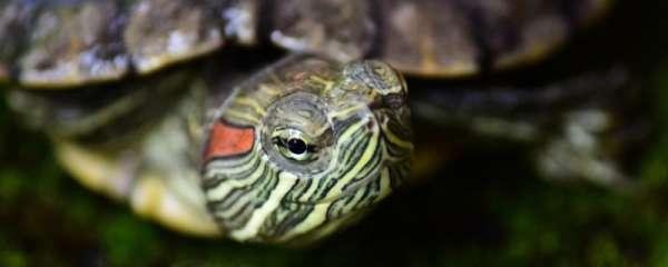 巴西龟吃什么东西最好,喂食频率