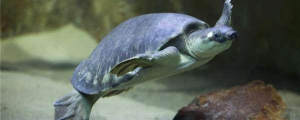 猪鼻龟是淡水龟还是海水龟,应该怎么饲养