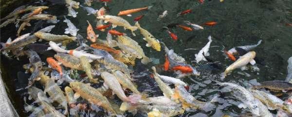 室外鱼池养锦鲤怎么养,有什么注意事项