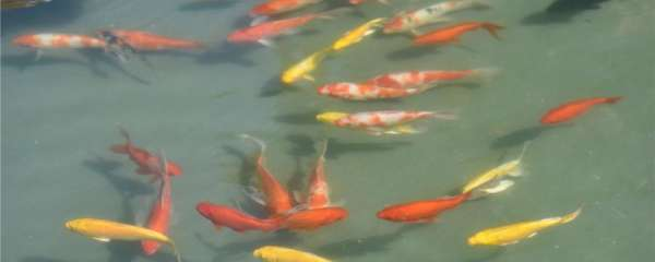 锦鲤浮在水面怎么回事,怎么治疗